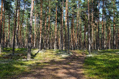 Pine forest in sunny summer day. Royalty Free Stock Photo