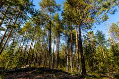 Pine forest on a sunny summer day. Karelia, Russia royalty free stock photo