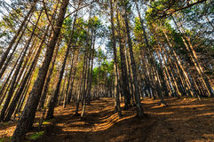 Pine forest with sunrays. Pine forest with a path going up royalty free stock photography