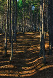 Pine forest with sunrays. Pine forest wtih a path going up Royalty Free Stock Image