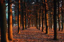 Pine Forest at Sunset Royalty Free Stock Photography
