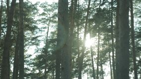 Pine forest, sunset on a spring day stock video