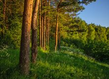 Pine forest at sunset stock photography