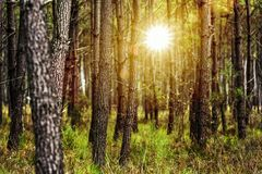 Pine Forest at sunset. Pine forest with sunlight beamsd royalty free stock photo