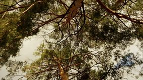 Pine forest in the sunset. A view from below of the crown of trees. Circular motion of the camera stock video