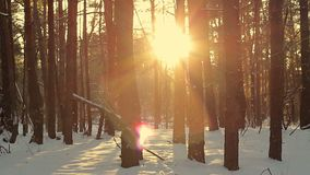 Pine forest at sunset in winter. The rays of the sun pass through the forest trees. Solar glare from falling snow. Winter landscape stock footage