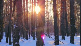 Pine forest at sunset in winter. The rays of the sun pass through the forest trees stock footage