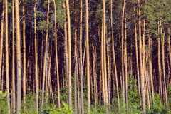 Pine forest on the sunset Stock Images