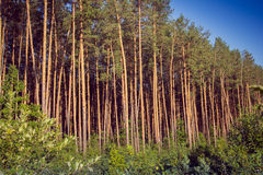 Pine forest on the sunset Royalty Free Stock Images