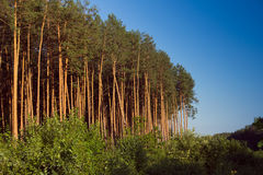 Pine forest on the sunset Stock Image