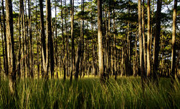 Pine forest in sunshine of Da Lat city Royalty Free Stock Photos