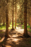 Pine Forest sunshine on pathway summer Royalty Free Stock Images