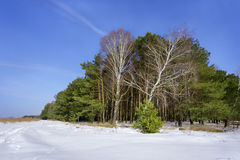 Pine forest. In a sunshine winter day Stock Images