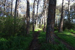Pine forest in suny day. Path in a pine forest Stock Image