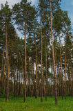 Pine forest with tall tree Stock Photos