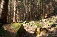 Pine forest with tall trees and large rocks Royalty Free Stock Photo