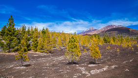 Pine forest at the Teide National park. In Tenerife, Canary Islands, Spain royalty free stock photos