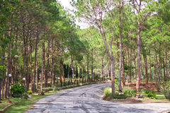 Pine forest thailand Royalty Free Stock Photo