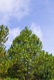 Pine forest thailand Royalty Free Stock Images