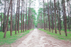 Pine forest in Thailand Stock Photography