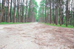 Pine forest in Thailand Stock Images