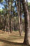 Pine forest in Thailand Royalty Free Stock Images