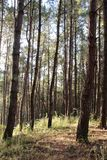 Pine forest in Thailand Royalty Free Stock Image