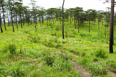 Pine forest. On top hill Stock Photography