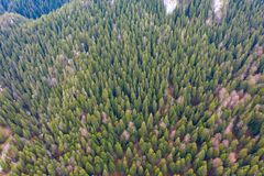Pine forest top view. Aerial drone view of green pine tree forest in Transylvania royalty free stock photo