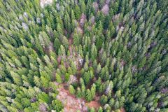 Pine forest top view. Aerial drone view of green pine tree forest in Transylvania stock photo
