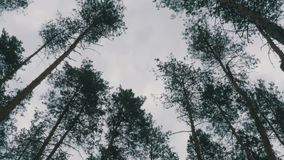 Pine forest. The tops of trees sway in the wind against the sky.  stock video footage