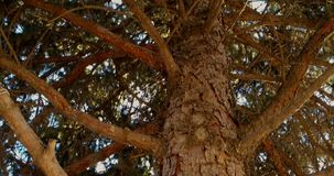 The pine forest tree from behind stock video