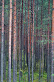 Pine forest tree Stock Photos