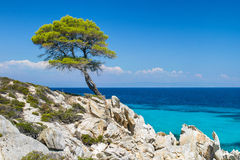 Pine forest tree by the sea in Halkidiki Stock Image