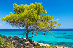 Pine forest tree by the sea Royalty Free Stock Photos