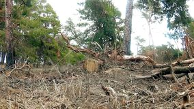 Pine forest tree tops in blue sky nature landscape felling of timber logs stock video footage