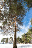 Pine in the forest Royalty Free Stock Image