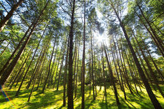 Pine forest tree Royalty Free Stock Photos