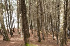 Pine forest, trees in the forest. Pine forest with dry branches stock photo