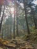 Pine forest and pine trees in nature background.Pine forest in Langtang National Park,north of the Kathmandu Valley,Nepal. Pine forest and pine trees in nature royalty free stock image