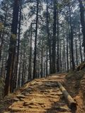 Pine forest and pine trees in nature background.Pine forest in Langtang National Park,north of the Kathmandu Valley,Nepal. Pine forest and pine trees in nature royalty free stock photo