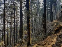 Pine forest and pine trees in nature background.Pine forest in Langtang National Park,north of the Kathmandu Valley,Nepal. Pine forest and pine trees in nature stock image