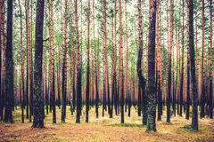 Pine forest. Trees after rain got black Royalty Free Stock Photos