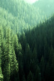 Pine Forest Trees in Wilderness and Mountains Stock Photography