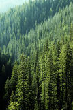 Pine Forest Trees in Wilderness and Mountains Stock Images