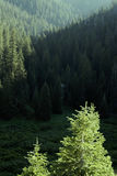 Pine Forest Trees in Wilderness and Mountains Stock Image
