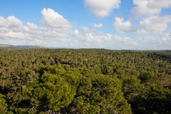 Pine forest treetops Stock Image