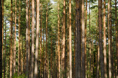 Pine forest trunks Royalty Free Stock Photos