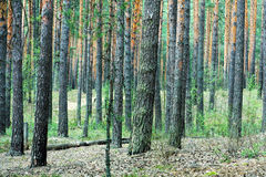 Pine forest trunks Stock Image