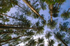 Pine forest trunks and canopy Stock Image